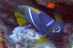 purple yellow fish - Costa Rica