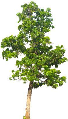 20 Free Tree PNG Images  - Mahogani05L