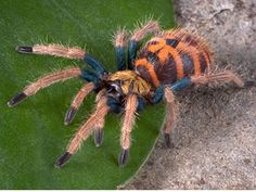 Chromatopelma cyaneopubescens a.k.a. Blue Bottle Tarantula