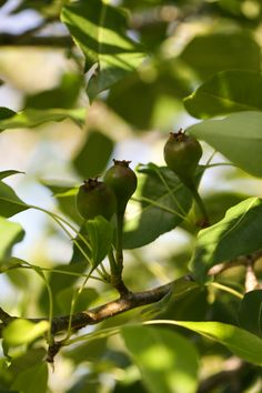 How to thin fruit trees. In this post we will learn why it is so important to thin your fruit trees and how to do it. A step by step picture tutorial. Fruit Trees, Casio, Plants, Pictures, Photos, Flora, Plant, Resim