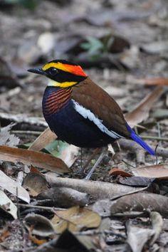 birds of thailand | Birds of Thailand; gorgeous!!