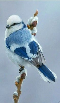 Jaiden is my personal blue bird 💙 White Blue Tit (Songbird) Parus Cyanus throughout Russia & Central Asia Pretty Birds, Beautiful Birds, Animals Beautiful, Beautiful Pictures, Nature Animals, Animals And Pets, Cute Animals, Funny Animals, Unique Animals