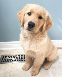 The more I sits the more cookies I gets? #goldenretriever