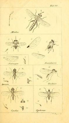 T. 6 - Systematische Beschreibung der bekannten europäischen zweiflügeligen Insekten / - Biodiversity Heritage Library
