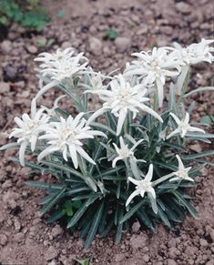edelweiss (leontopodium alpinum) - Noble courage