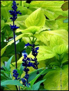 Coleus with salvia blooms