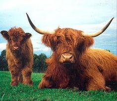 Highland coos--@ Jennifer Fox!  This was one of my favorite things about Scotland.  :). Loved them!!!