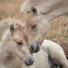 Fjord horses....... - Pixdaus