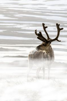 **Reindeer in the cold  Photo by Michel Kant