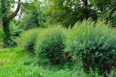 3783956-Row-of-green-bushes-in-a-park-Stock-Photo-bushes ...