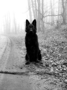 One day... black German shepherd