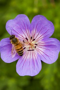 Geranium wallichianum Buxton's Blue with bee - Photo: Audrey Stallsmith