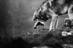 У собаки есть хозяин, ау волка есть Бог. *** Գայլը իմ ամենասիրելի կենդանին է: Ամեն ինչից զատ,բոլոր կենդանիներից վեր ես գայլ եմ սիրում:Կյանքի նրանց մոտեցումը ինձ շատ հոգեհարազատ է: Նույնիսկ գայլերից շատ բան եմ սովորել: Բացի հենց գայլ կենդանուց,կա մարդկանց խումբ,որոնց կոչում են