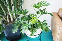 Philodendron- low maintenance