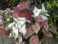 Mixed Caladiums make a nice filler piece Shade Flowers, Tropical Plants, Container Gardening, Garden Plants, Perennials, Concept, Nice, How To Make, Pictures