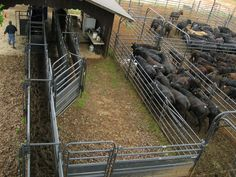 Designed for use with scale platforms, this sheeted alley section can also be used for incremental lengthening of alleys. Cattle Barn, Beef Cattle, Cattle Farming, Goat Farming, Cow Pen, Cattle Corrals, Goat Shelter, Backyard Barn, Raising Cattle