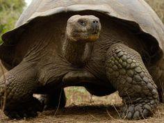 Galapagos Giant Tortoise, Highlands, Santa Cruz Island, Galapagos Islands, Ecuador