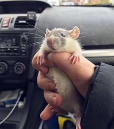 21 Reasons Rats Actually Make Amazing PetsYou can find Pet rats and more on our Reasons Rats Actually Make Amazing Pets Animals And Pets, Baby Animals, Funny Animals, Cute Animals, Funny Rats, Cute Rats, Hamsters, Rodents, Rata Dumbo