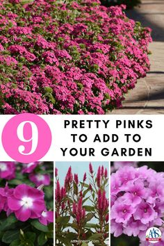 Pink AAS Winners For Your Garden   All-America Selections Large Flowers, Dried Flowers, Pink Flowers, Pink Garden, Colorful Garden, Autumn Garden, Summer Garden, Pink Color, Pale Pink