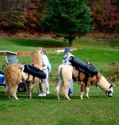 Llama Caddies Golf, Activities, Animals, Animaux, Animal, Animales, Wave, Polo Neck, Animais