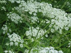 Cow Parsley sometimes called Queen Anne's Lace