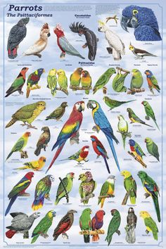 types of parrots that talk parrots poster beautiful birds pinterest parrots search and. Black Bedroom Furniture Sets. Home Design Ideas