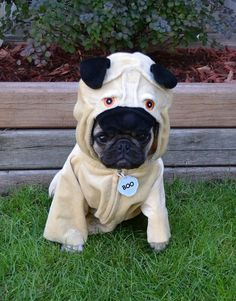 Our Pug Boo caring on our family tradition 'A Pug In A Pug'  #pugcostume #pughalloween #puginapug