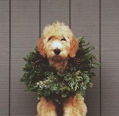 10 reasons why you should not get a dog for Christmas #dog #dogs #cute #doglovers #christmas #holidays