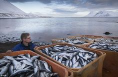 ... herring - Iceland's most important resource