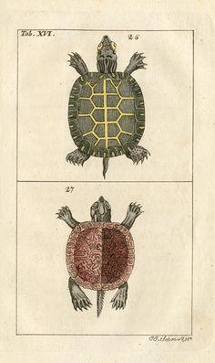Fresh Water Turtle.  Gottlieb Tobias Wilhelm Reptile & Amphibian Copper Engravings 1810