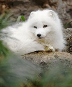 Arctic Fox by Brandon Warren