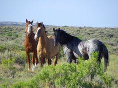 Sand Wash Basin Wild Horses: Blue Roan, Dun, and Chestnut