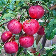 Gurney's Fruit Tree Food is an all-natural fertilizer for apple, pear, peach, cherry and other fruit trees. Apply this plant food twice a year.