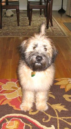 Gilbert the Soft Coated Wheaten Terrier