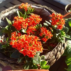 It has been 3 years since I received this Kalanchoe as a gift. It keeps blooming bigger and brighter each year   #kalanchoe #bloom #flowers  #plantparenthood #ihavethisthingwithplants #succulenthoarder