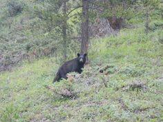 mládě medvěda černého - black bear baby - NP Banff - Canada - 2014