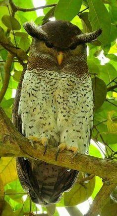 Maleise Oehoe - Barred Eagle Owl (Bubo sumatranus)