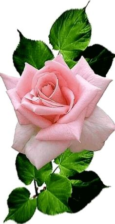 growing hybrid tea roses in containers Beautiful Flowers Wallpapers, Beautiful Rose Flowers, Amazing Flowers, Pretty Flowers, Pink Flowers, Red Roses, Rose Reference, Flower Phone Wallpaper, Rose Images