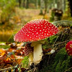 Download our professionally designed amanita poisonous mushroom ppt download our professionally designed amanita poisonous mushroom ppt template this amanita poisonous mushroom powerpoint template is affordable and toneelgroepblik Image collections