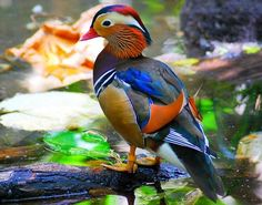 Pato mandarín