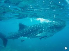 CEBU   Oslob Whale Shark Watching - Jansellbiskwit