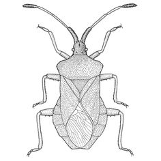 Insect illustration of Coreus marginatus. The reddish-brown bug belong to the