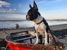 This is a very good photo quality of the Boston Terrier dog named Lucy exploring on her first trip to Cape Cod. *Featured on www.bterrier.com