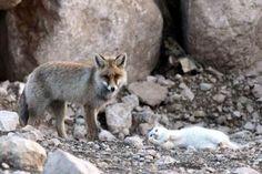 Turkish Van cat and fox from Lake Van, Turkey