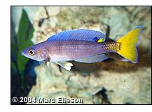 The genus Cyprichromis contains some of the most popular and spectacular Tanganyikan cichlids in the hobby. Prized for their mild temperament, schooling behavior, and dazzling colors, they can be found in nearly every hobbyist's Tanganyikan community aquarium.