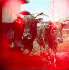Holga Photography - Nic Annette Miller Photo Projects, Art Projects, Holga, Cow, Photography, Inspiration, Animals, Biblical Inspiration, Photograph