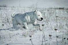 Dogo Argentino running through the snow