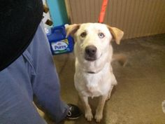 Meet Champ, a Petfinder adoptable Yellow Labrador Retriever Dog | Lake Jackson, TX | Champ is a great dog who gets along with all other dogs although he is easily intimidated by larger...