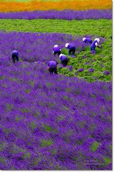 Lavender field, Hokkaido, Japan