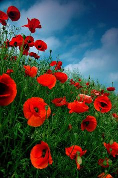 Poppies Against Summer Sky.... Oh how I do love poppies. :D